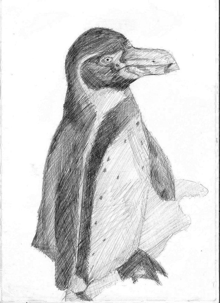 pinguino_de_humboldt_38884.jpg