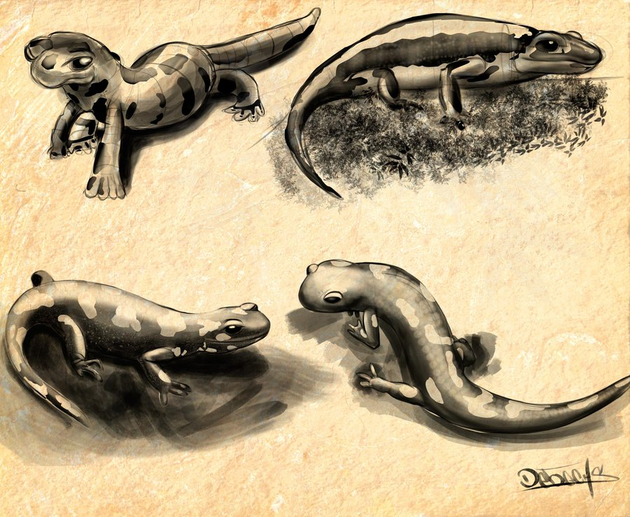 salamandras_71067.jpg