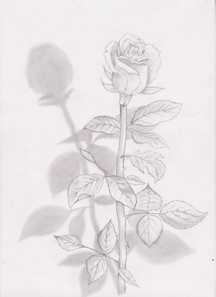 rosa_86248.jpg