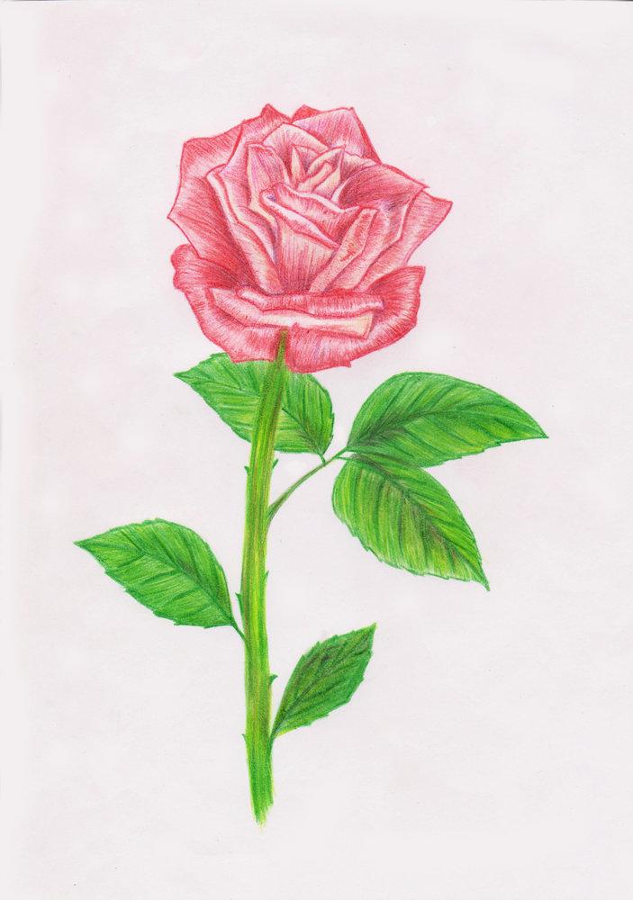 rosa_color_86882.jpg