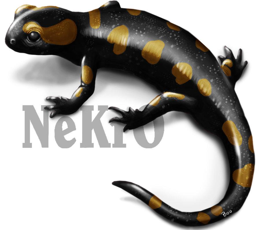 salamandra_240217.jpg