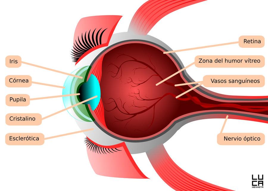 Anatomía del ojo humano por Luca-Mendieta | Dibujando