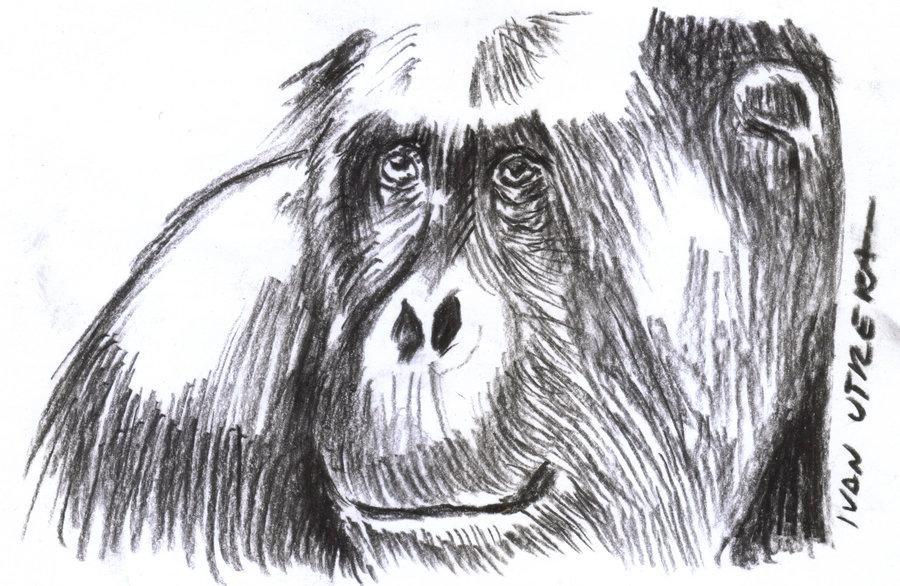 orangutan_308430.jpg