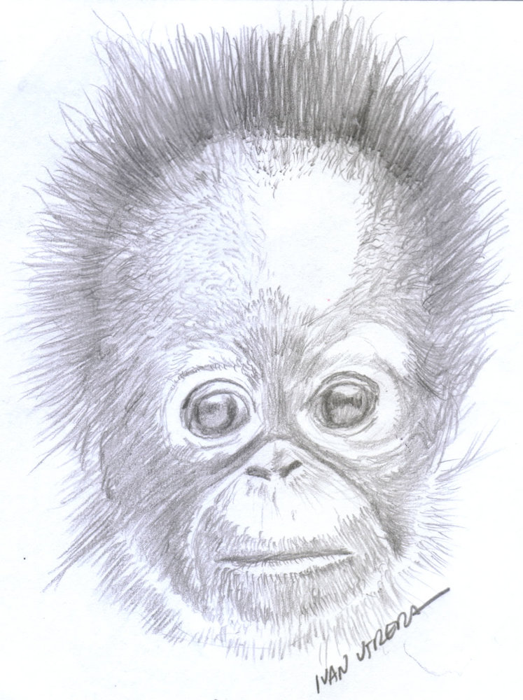 orangutan_365470.jpg