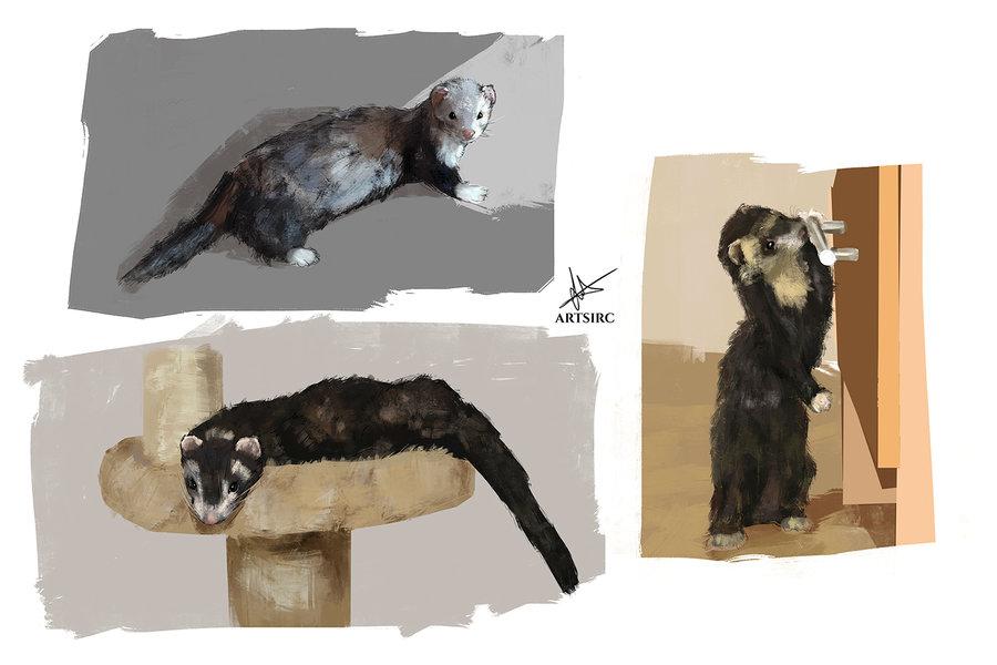 ferrets_studies_1000px_463767.jpg