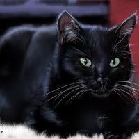 Il gato nero