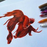Betta blood red veitail