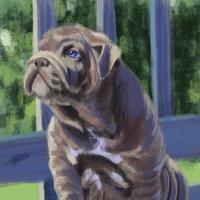 Bulldog - estudio
