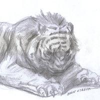 tigre a lapiz