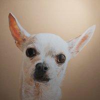 Retrato chihuahua