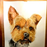 Retrato yorkshire terrier