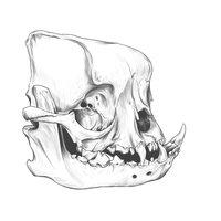 English bull dog skull DRAWING.
