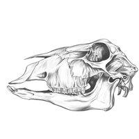 Drawing Exercise, Sheep skull.