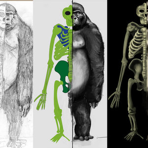 Anatomia_del_gorila_12550.jpg