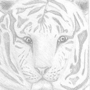 tigre blanco.