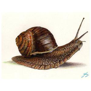 snail_helix_aspersa_72218.jpg