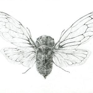 cicadidae_77432.jpg