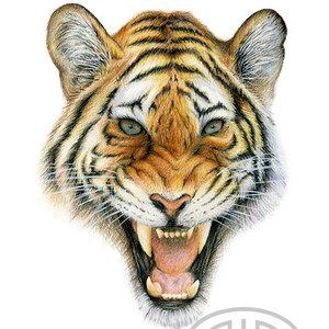 tigre_78279.jpg