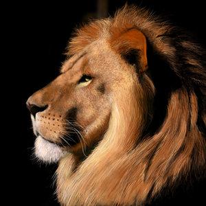 lion_72457.jpg