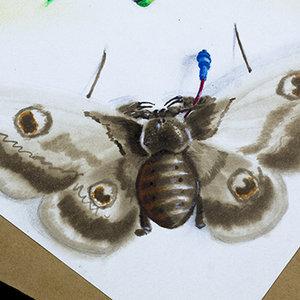 Saturniidae_Amblypygi_208499.jpg