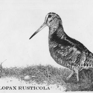 Becada (Scolopax Rusticola)