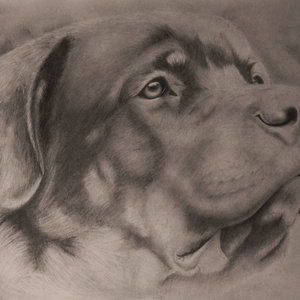 Rottweiler__Francisco_Javier_Cerezo__retrato_a_lYapiz_260287.jpg