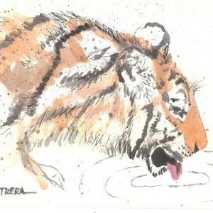 tigre07_318691.jpg