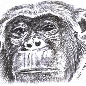 chimpance_308369.jpg