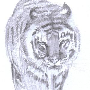 tiger09_345965.jpg