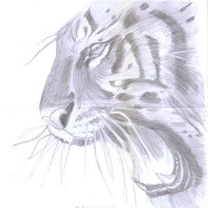 tiger02_346773.jpg