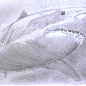 shark_349073.jpg