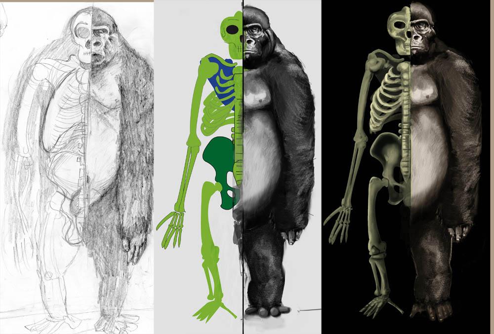Anatomia del gorila por SCeron | Dibujando